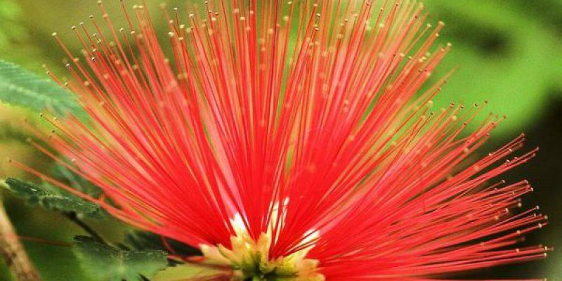цветение каллиандры